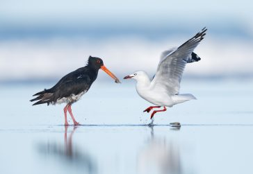 Variable Oystercatcher and Red billed Gull_Reg Quinn